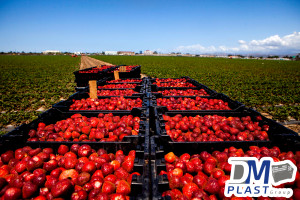 caja-plastica-para-fresa-strawberries-cesta-para-recoleccion-dmplast-1