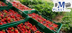 caja-plastica-para-fresa-strawberries-cesta-para-recoleccion-dmplast-4