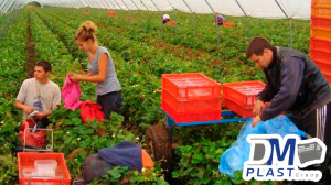 caja-plastica-para-fresa-strawberries-cesta-para-recoleccion-dmplast-9