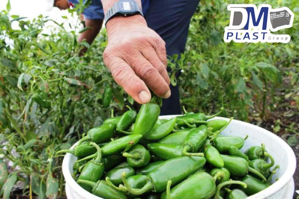 cesta-de-chile-habanero-de-yucatan-chile-verde-cajas-plasticas-dmplast-caja-para-chile-8