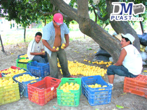 cesta_para_mango_dmplast_caja agricola_deshidratado de mango_13