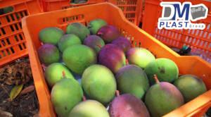 cesta_para_mango_dmplast_caja agricola_deshidratado de mango_20