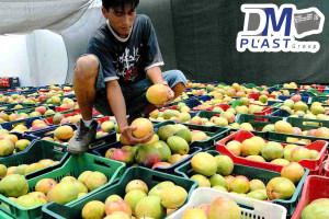 cesta_para_mango_dmplast_caja agricola_deshidratado de mango_3