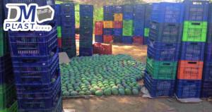 cesta_para_mango_dmplast_caja agricola_deshidratado de mango_6