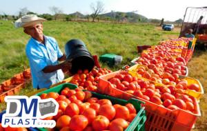 cuidados-del-tomate-dmplast-cajas para tomate-jitomate-6