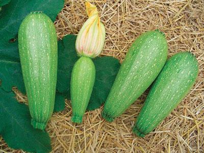 cultivo de calabaza en  mexico 2